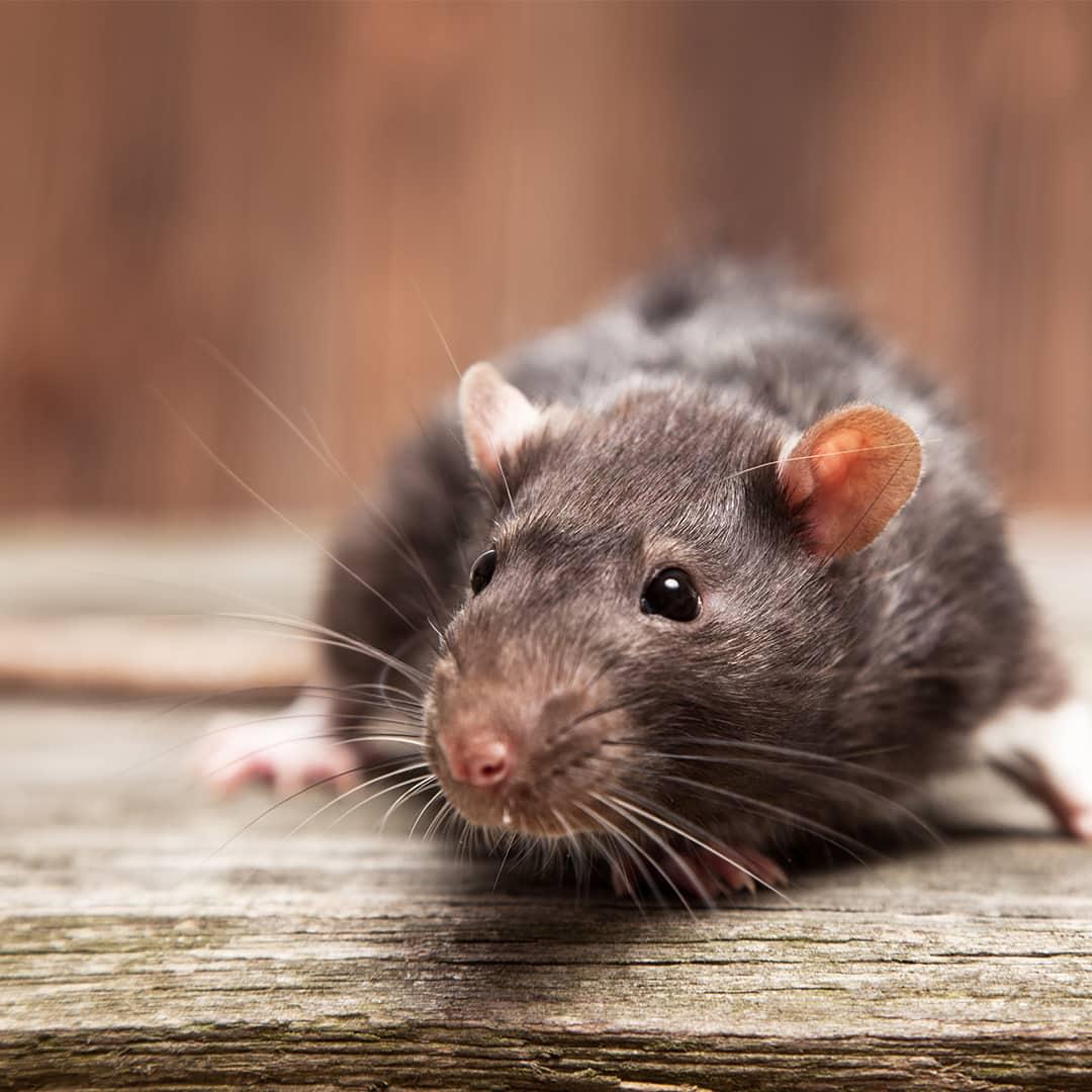 roedores sevilla